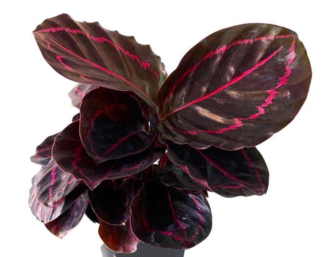 Calathea-Roseopicta-Dottie-Peppyflora-Product-02-moz