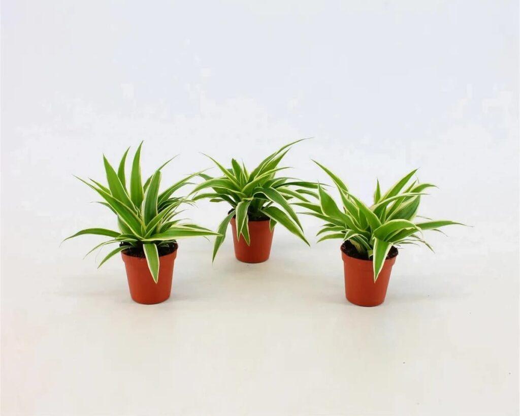 Chlorophytum-Ocean-Spider-Plant-Peppyflora-Product-02-moz
