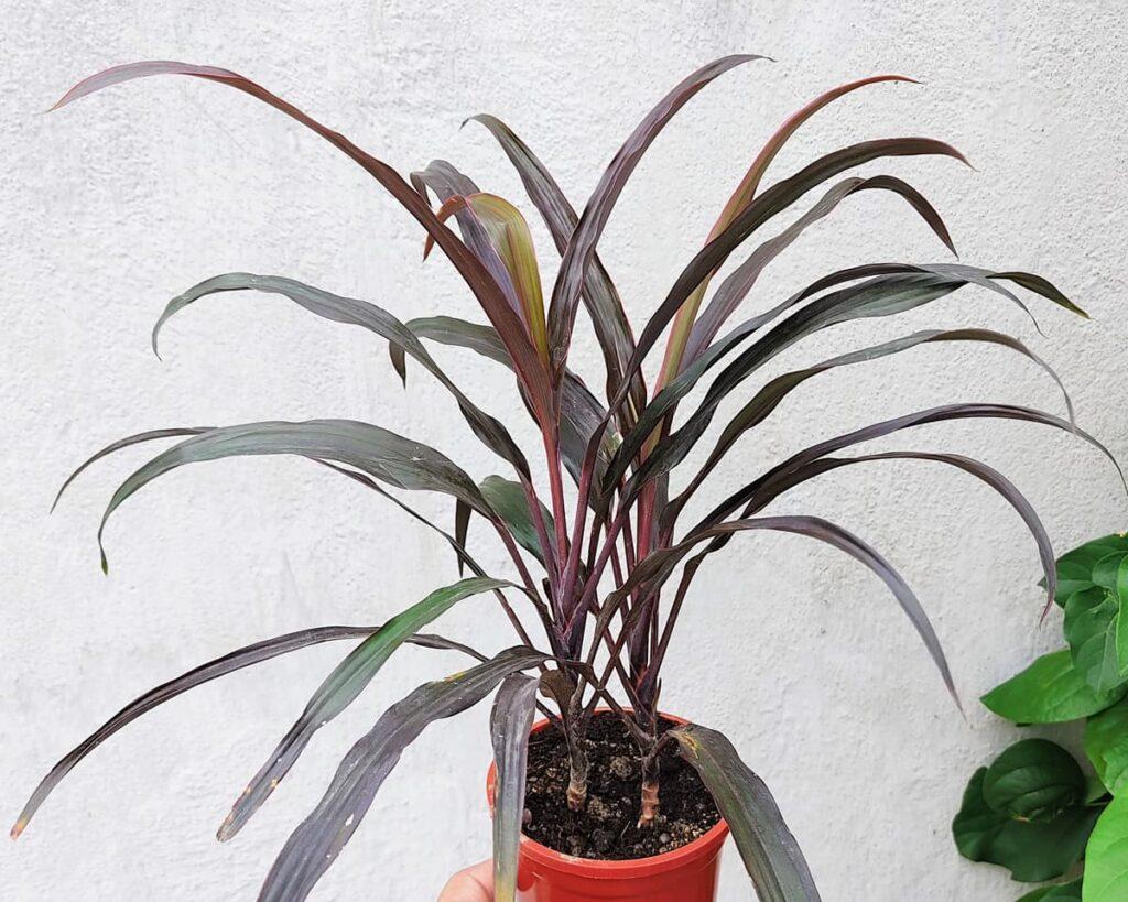 Cordyline-Fruticosa-Dwarf-Red-Peppyflora-Product-02-moz