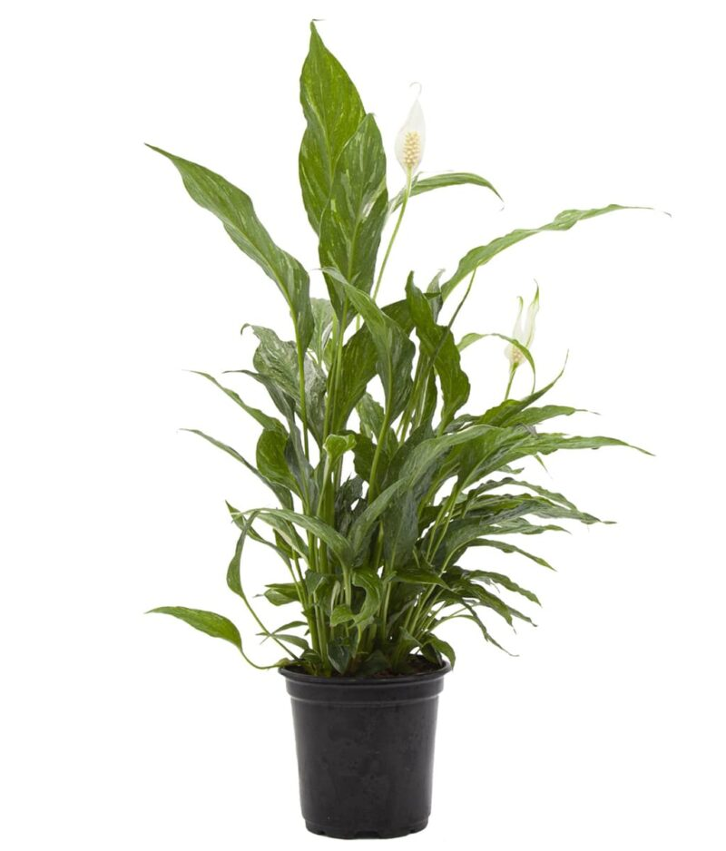 Domino-Peace-Lily-Spathiphyllum-Variegated-Peppyflora-Product-01-a-moz