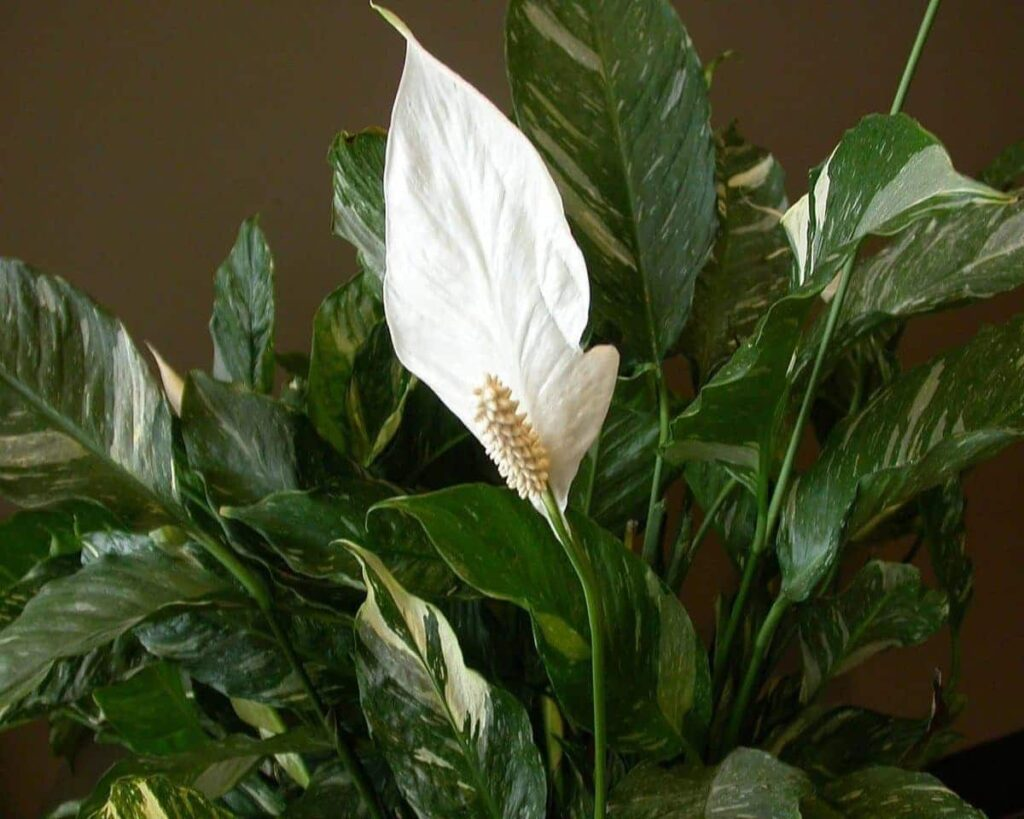 Domino-Peace-Lily-Spathiphyllum-Variegated-Peppyflora-Product-02-moz