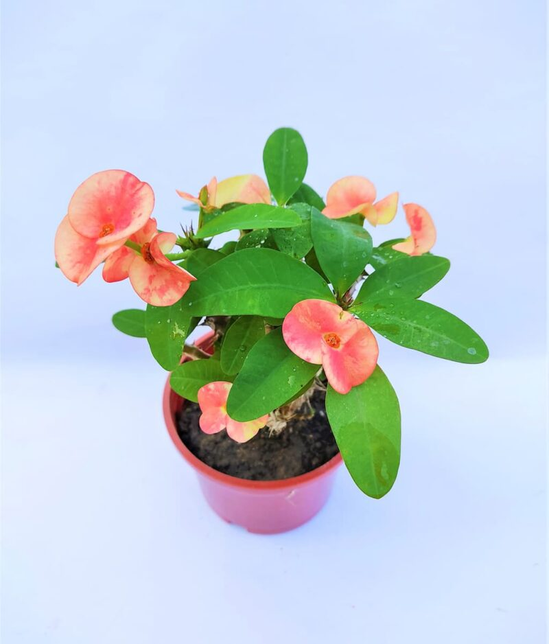 Euphorbia-Milii-Peach-Pink-Peppyflora-Product-01-a-moz
