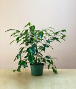 Ficus-Benjamina-Weeping-Fig-Peppyflora-Product-01-a-moz
