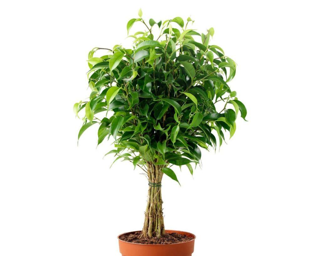 Ficus-Benjamina-Weeping-Fig-Peppyflora-Product-02-moz