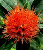 First-Love-Red-Xanthostemon-Youngii-Peppyflora-Product-01-a-moz
