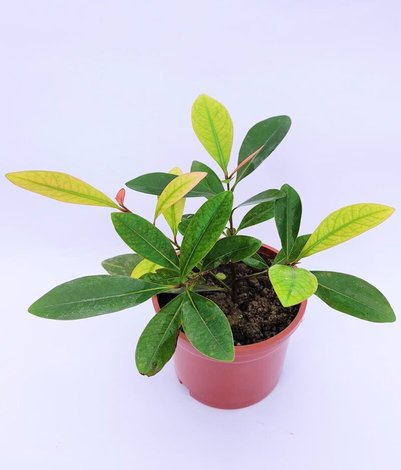 First-Love-Red-Xanthostemon-Youngii-Peppyflora-Product-01-b-moz