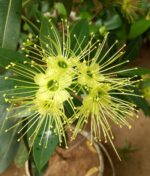 First-Love-Yellow-Xanthostemon-Chrysanthus-Peppyflora-Product-01-a-moz