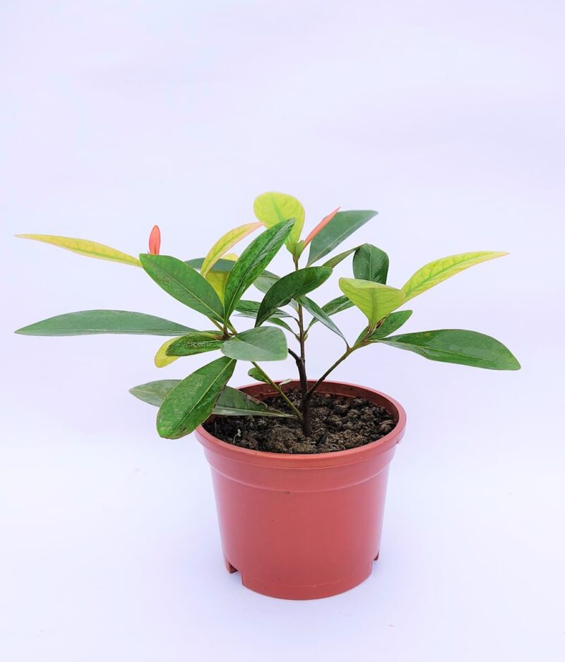 First-Love-Yellow-Xanthostemon-Chrysanthus-Peppyflora-Product-01-b-moz