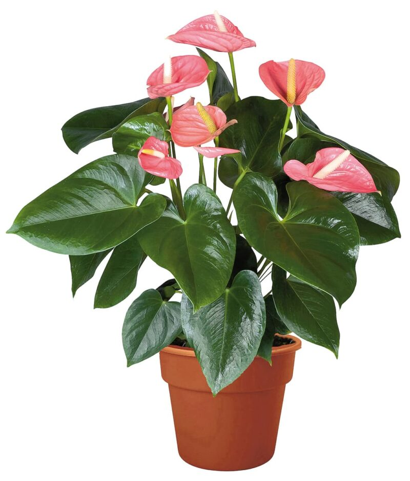 Flowering-Anthurium-Pink-Flamingo-Lily-Peppyflora-Product-01-a-moz