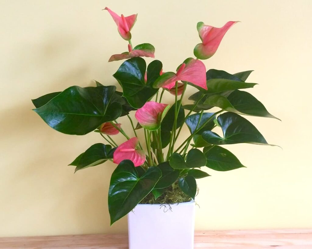 Flowering-Anthurium-Pink-Flamingo-Lily-Peppyflora-Product-02-moz