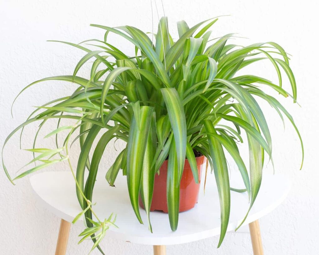 Hawaiian-Spider-Plant-Chlorophytum-Comosum-Peppyflora-Product-02-moz