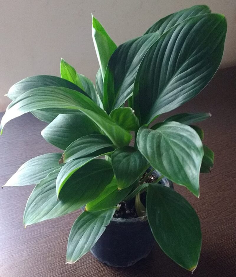 Hybrid-Peace-Lily-Peppyflora-Product-01-a-moz