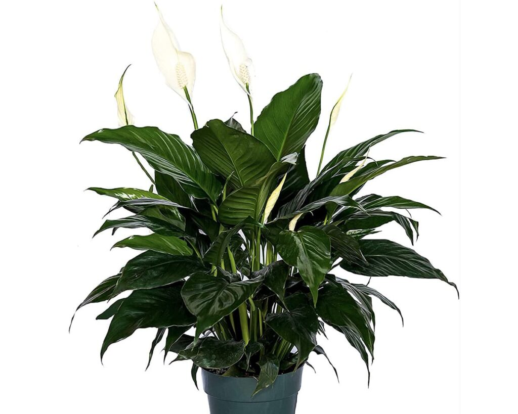 Hybrid-Peace-Lily-Peppyflora-Product-02-moz