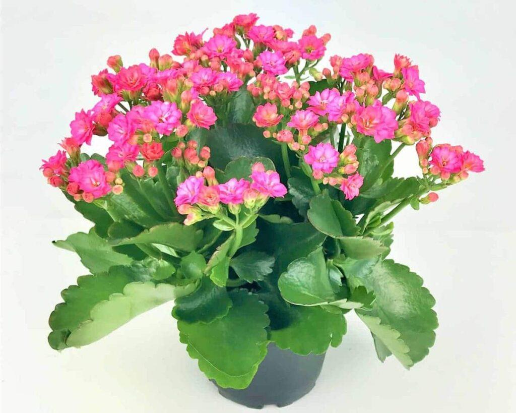 Kalanchoe-Pink-Blossfeldiana-Peppyflora-Product-02-moz