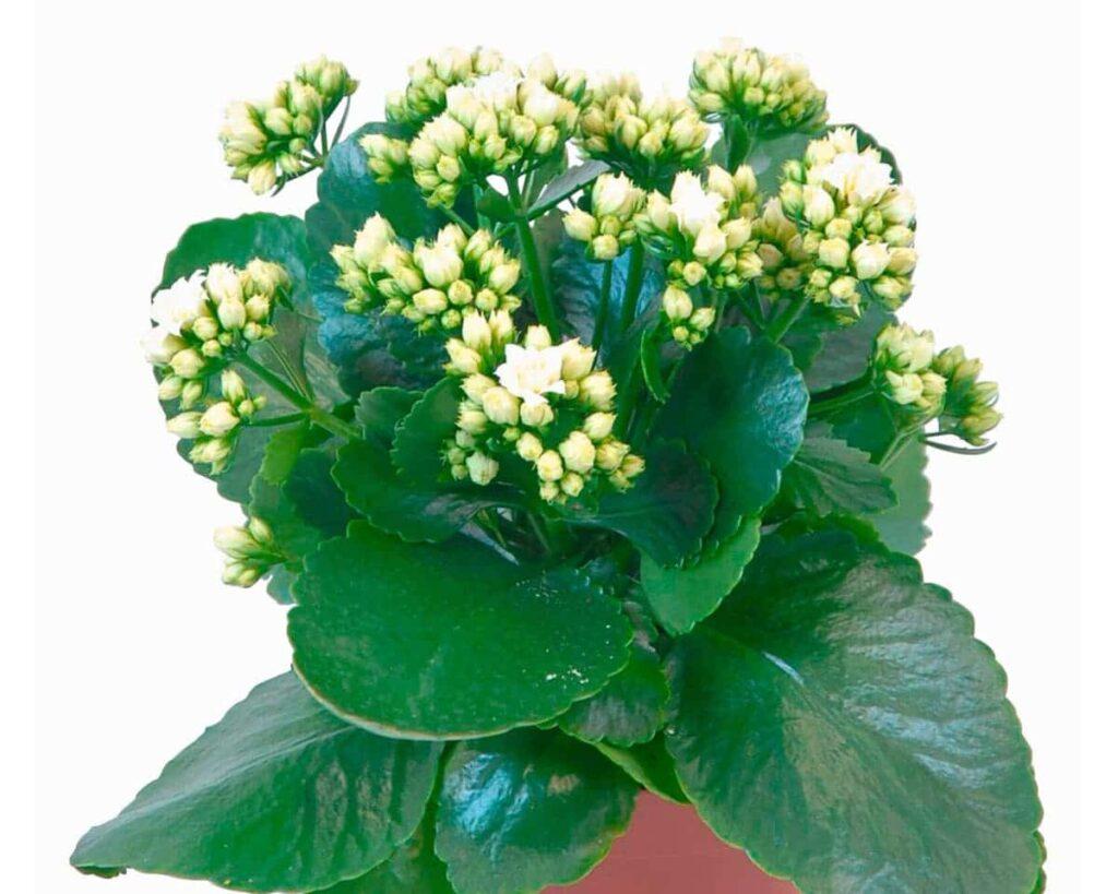 Kalanchoe-White-Blossfeldiana-Peppyflora-Product-02-moz
