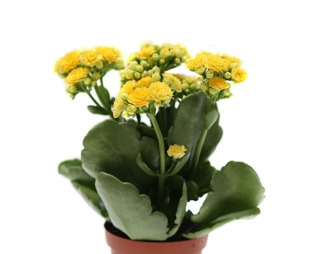 Kalanchoe-Yellow-Blossfeldiana-Peppyflora-Product-02-moz