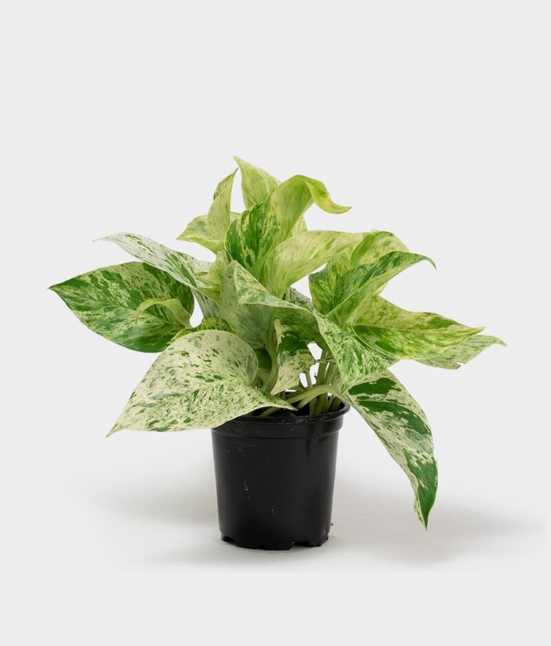 Money-Plant-Marble-Queen-Peppyflora-Product-01-a-moz