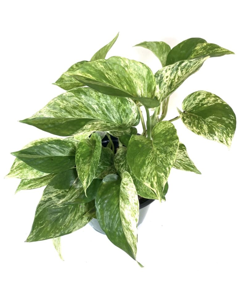 Money-Plant-Marble-Queen-Peppyflora-Product-01-b-moz