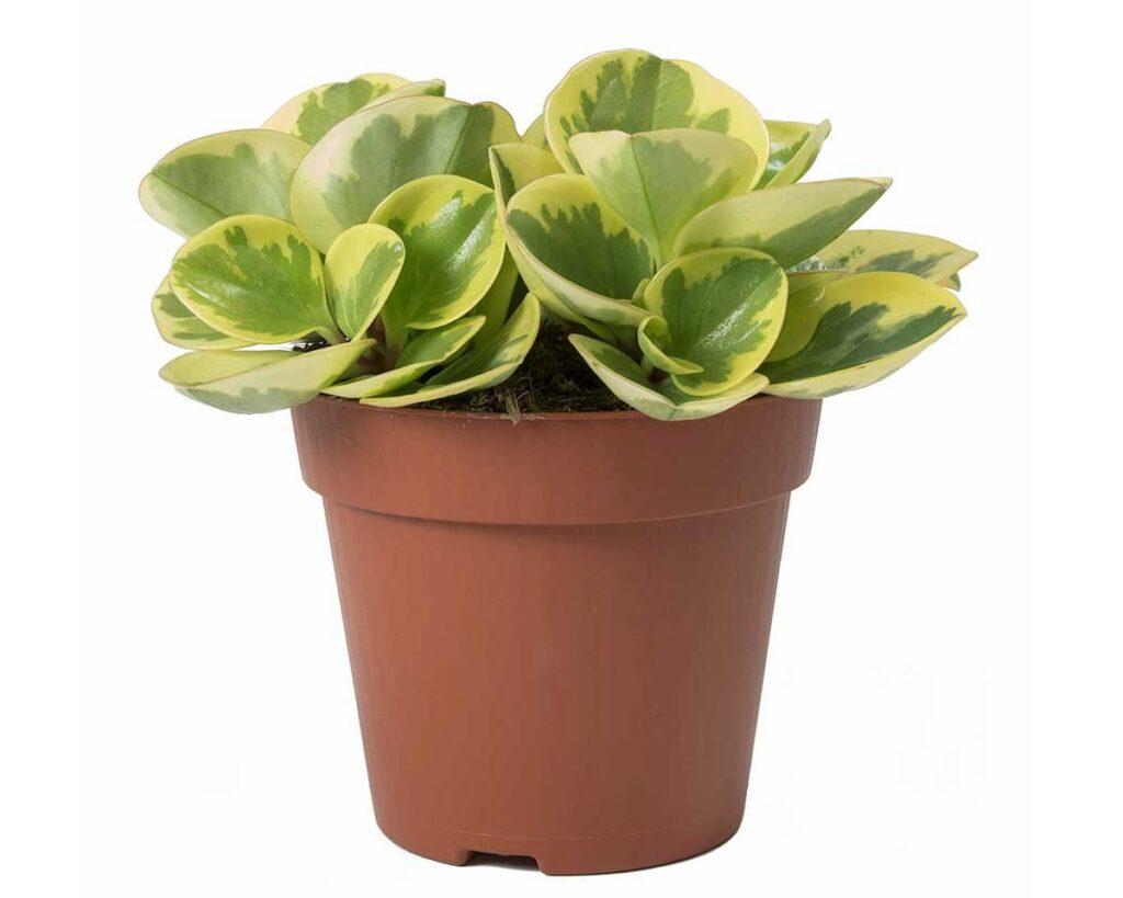 Peperomia-Obtusifolia-Variegata-Peppyflora-Product-02-moz