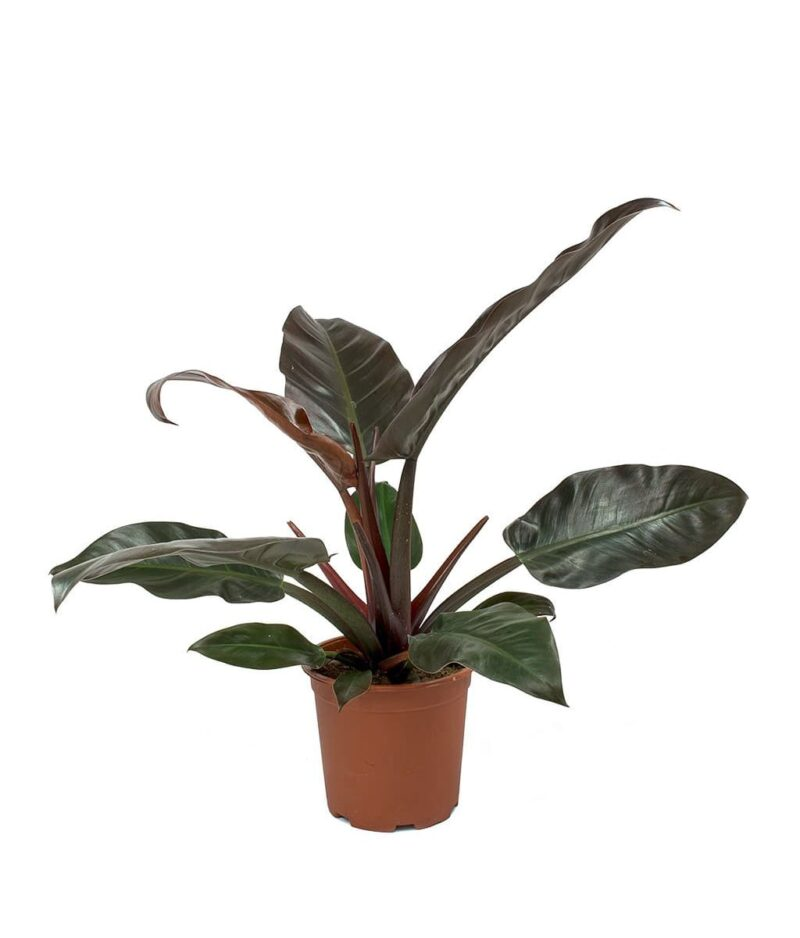 Philodendron-Imperial-Red-Peppyflora-Product-01-a-moz