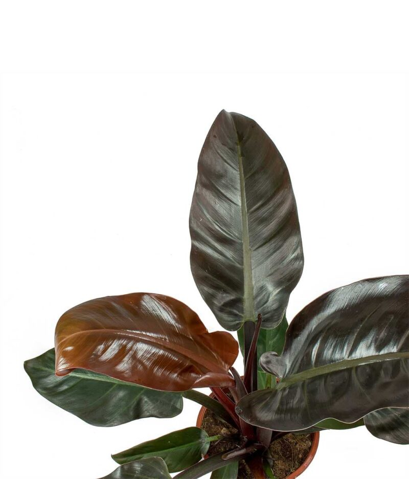 Philodendron-Imperial-Red-Peppyflora-Product-01-b-moz