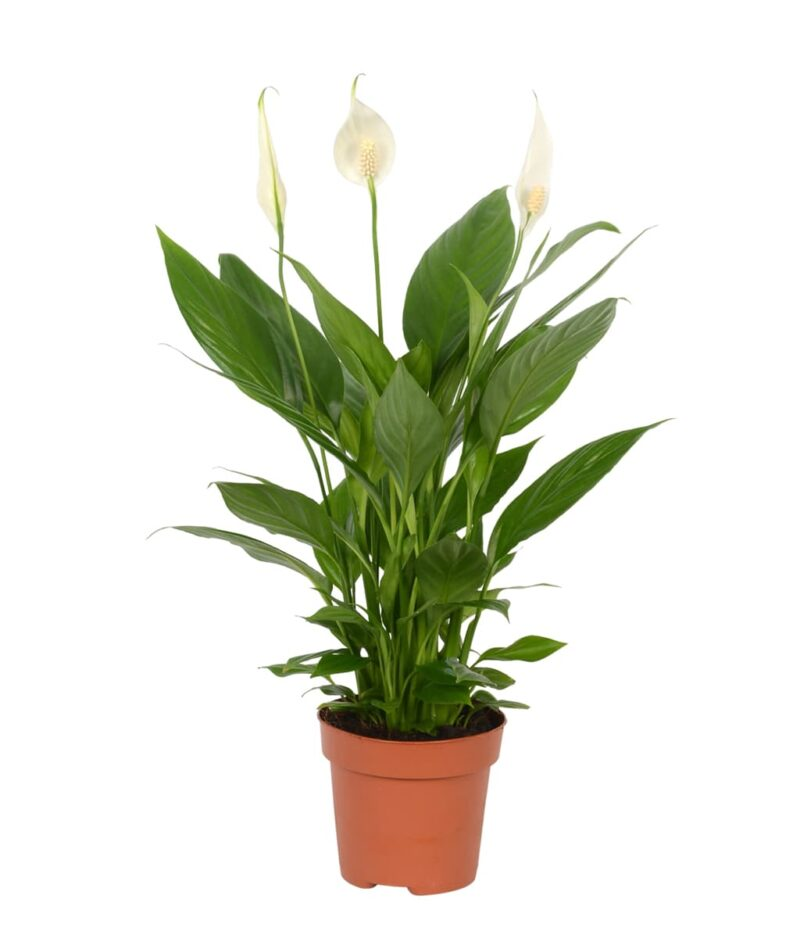 Spathiphyllum-Peace-Lily-Peppyflora-Product-01-a-moz