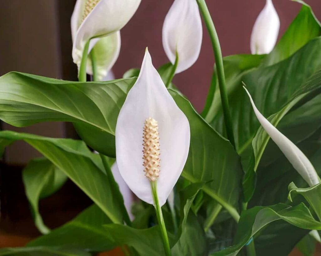 Spathiphyllum-Peace-Lily-Peppyflora-Product-02-moz