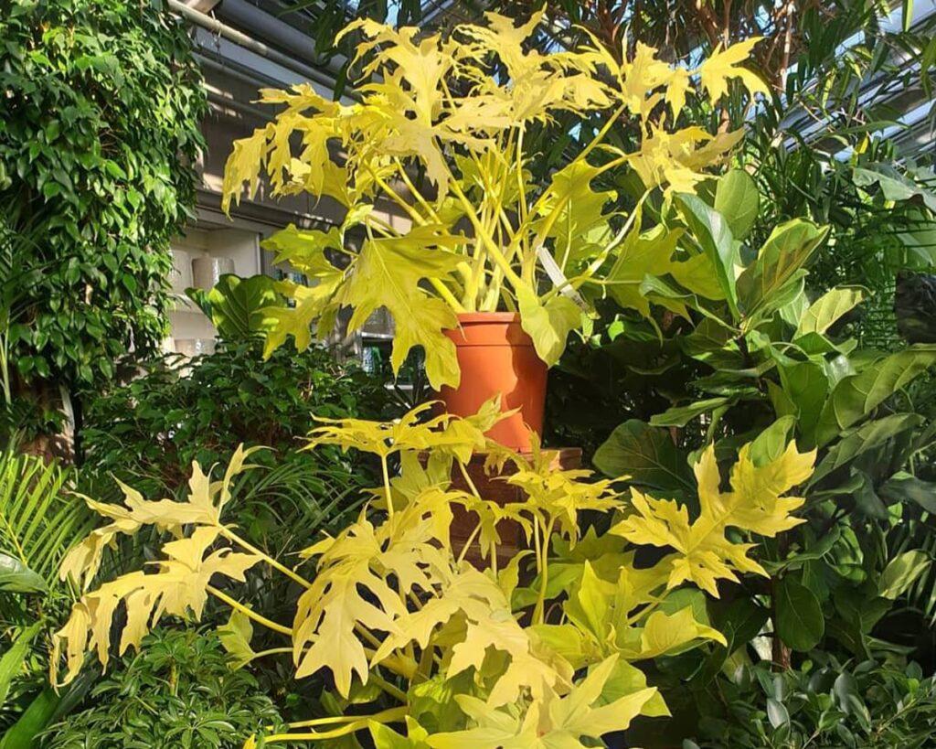 Thaumatophyllum-Selloum-Golden-Peppyflora-Product-02-moz