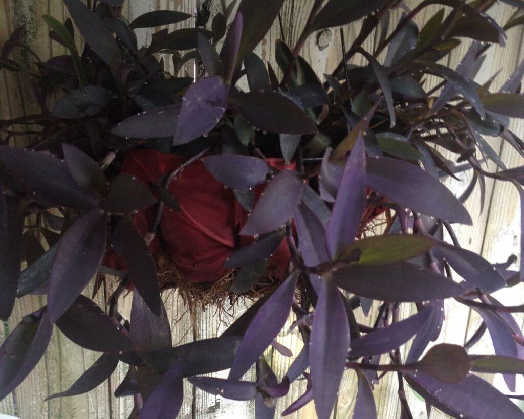 Tradescantia-Pallida-Queen-Purple-Heart-Plant-Peppyflora-Product-02-moz