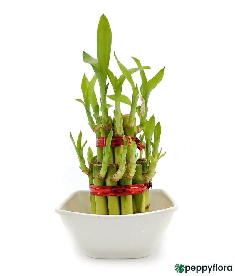 2 Layer Lucky Bamboo Product Peppyflora 01 a Moz