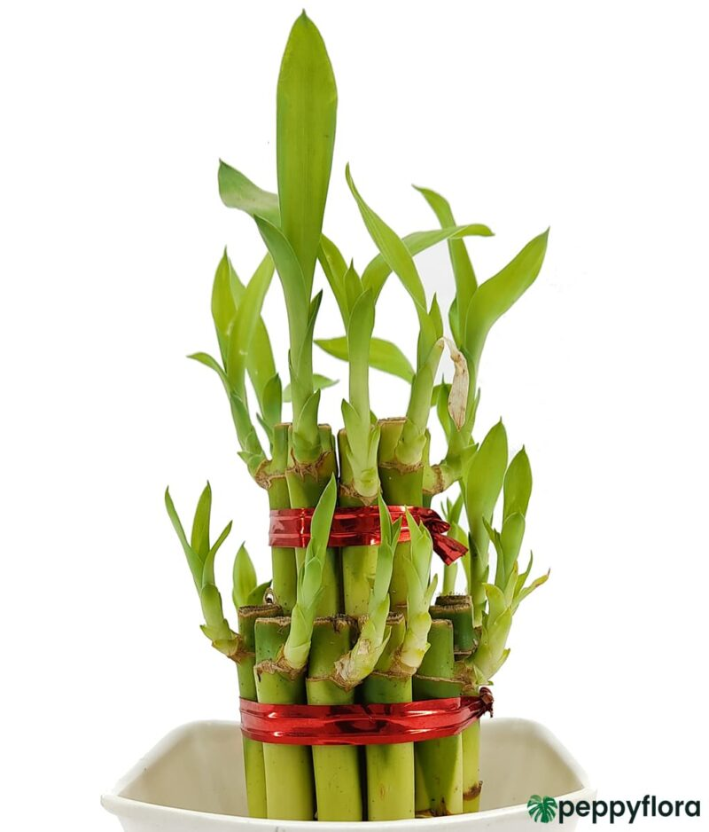 2 Layer Lucky Bamboo Product Peppyflora 01 b Moz