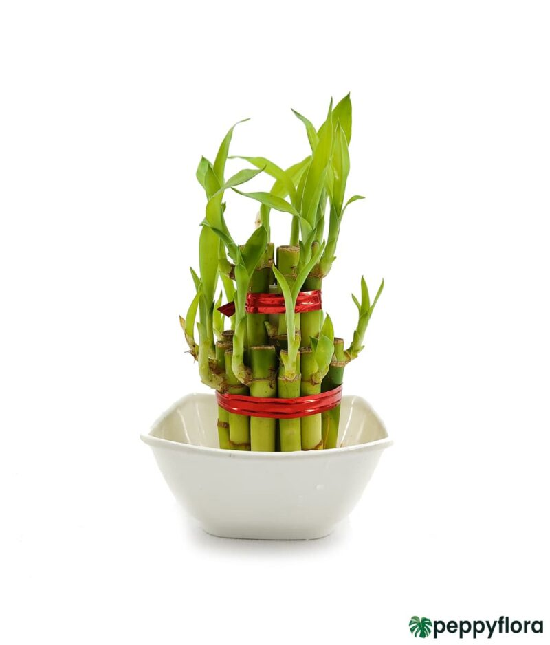 2 Layer Lucky Bamboo Product Peppyflora 01 c Moz