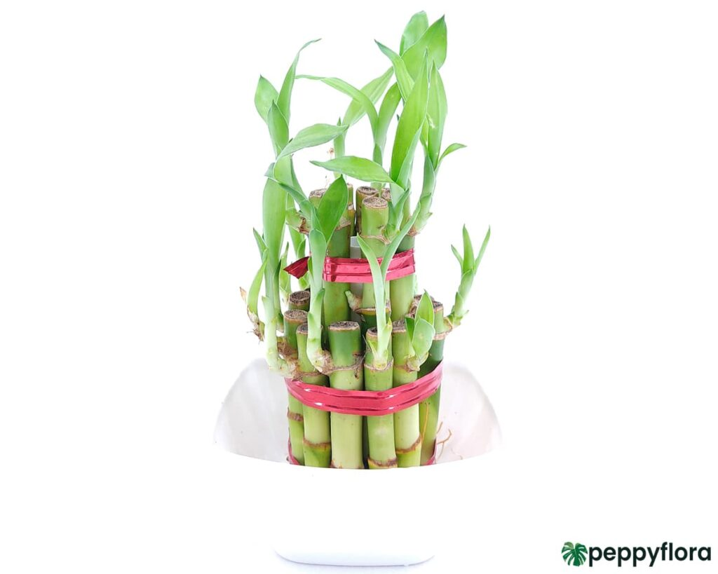 2 Layer Lucky Bamboo Product Peppyflora 02 Moz