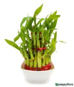 3 Layer Lucky Bamboo Product Peppyflora 01 a Moz