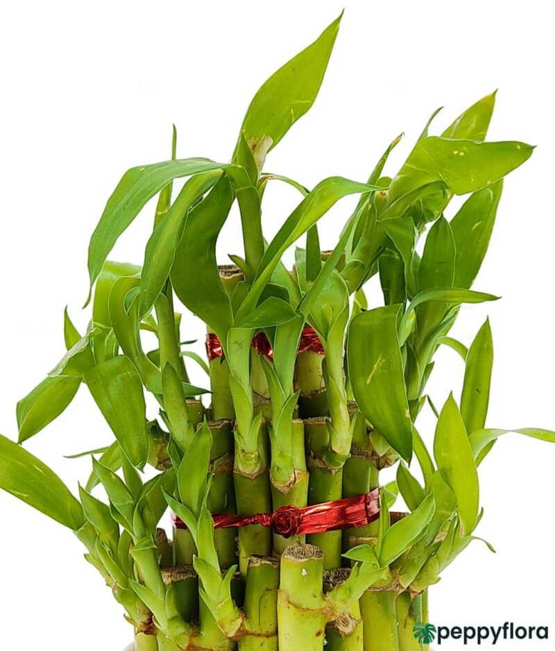3 Layer Lucky Bamboo Product Peppyflora 01 b Moz