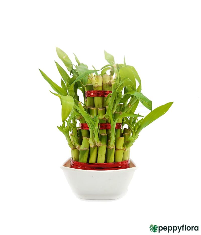 3 Layer Lucky Bamboo Product Peppyflora 01 c Moz