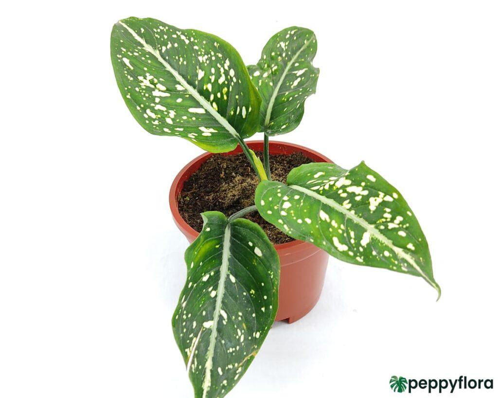 Aglaonema-Costatum-Chinese-Evergreen-Product-Peppyflora-02-Moz