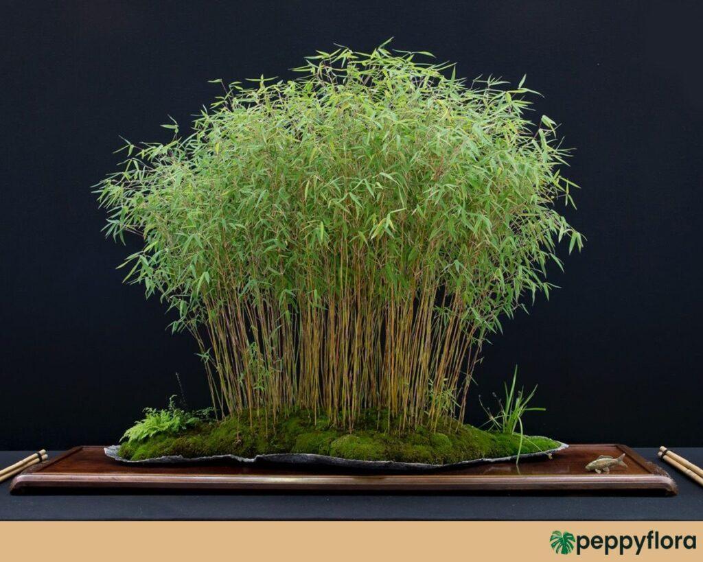 Bamboo-Grass-Poginatherum-Crinitum-Product-Peppyflora-02