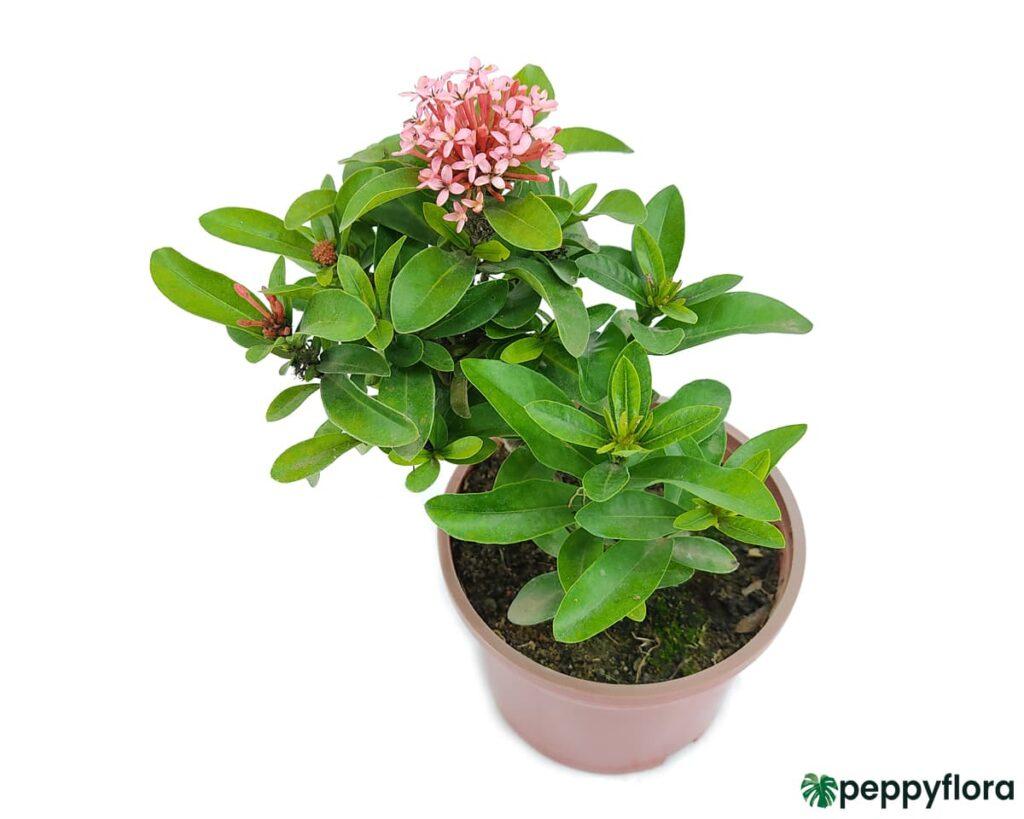 Ixora Dwarf Pink Product Peppyflora 02 Moz