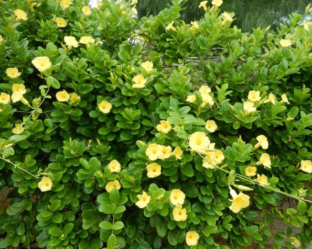 Mandevilla-Yellow-Rocktrumpet-Peppyflora-Product-02-moz