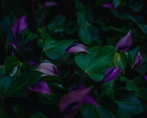 Peppyflora-Anthurium-Care-01-moz