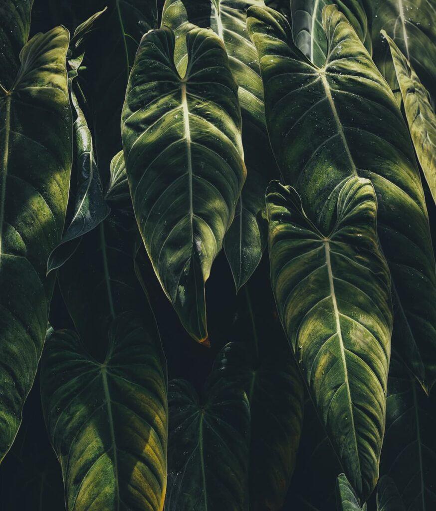 Peppyflora-Anthurium-Care-02-a-moz