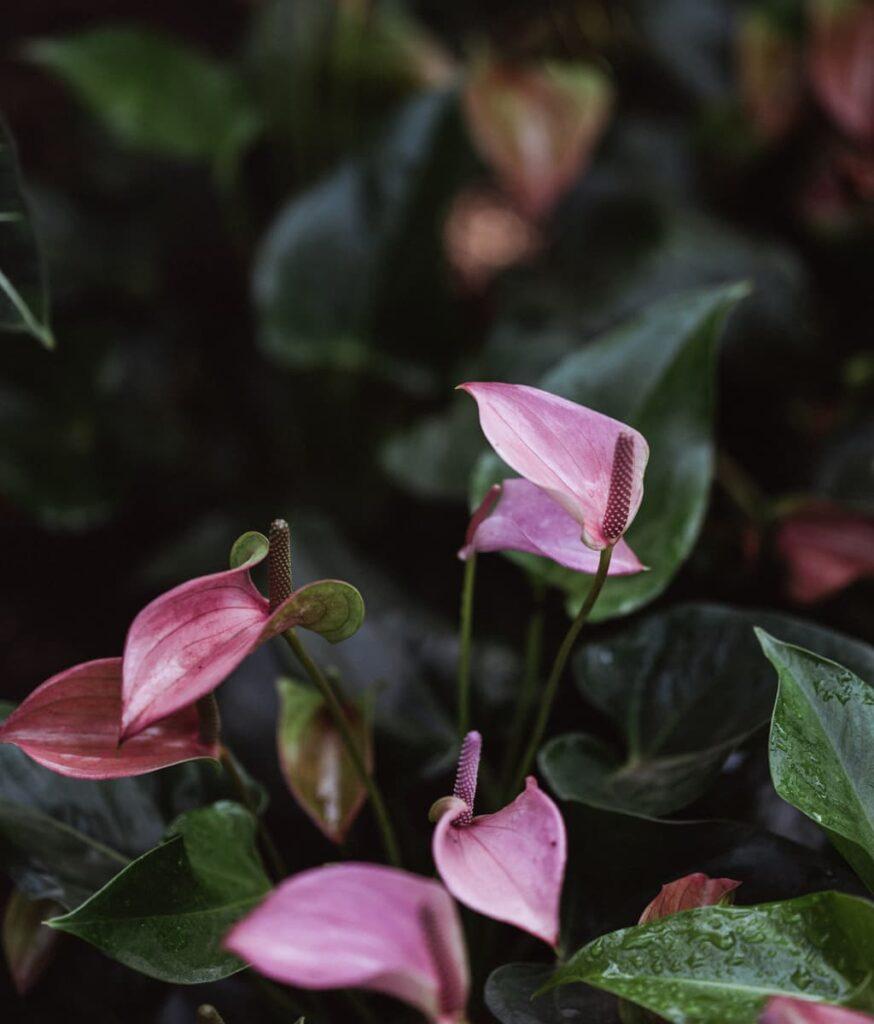 Peppyflora-Anthurium-Care-02-b-moz
