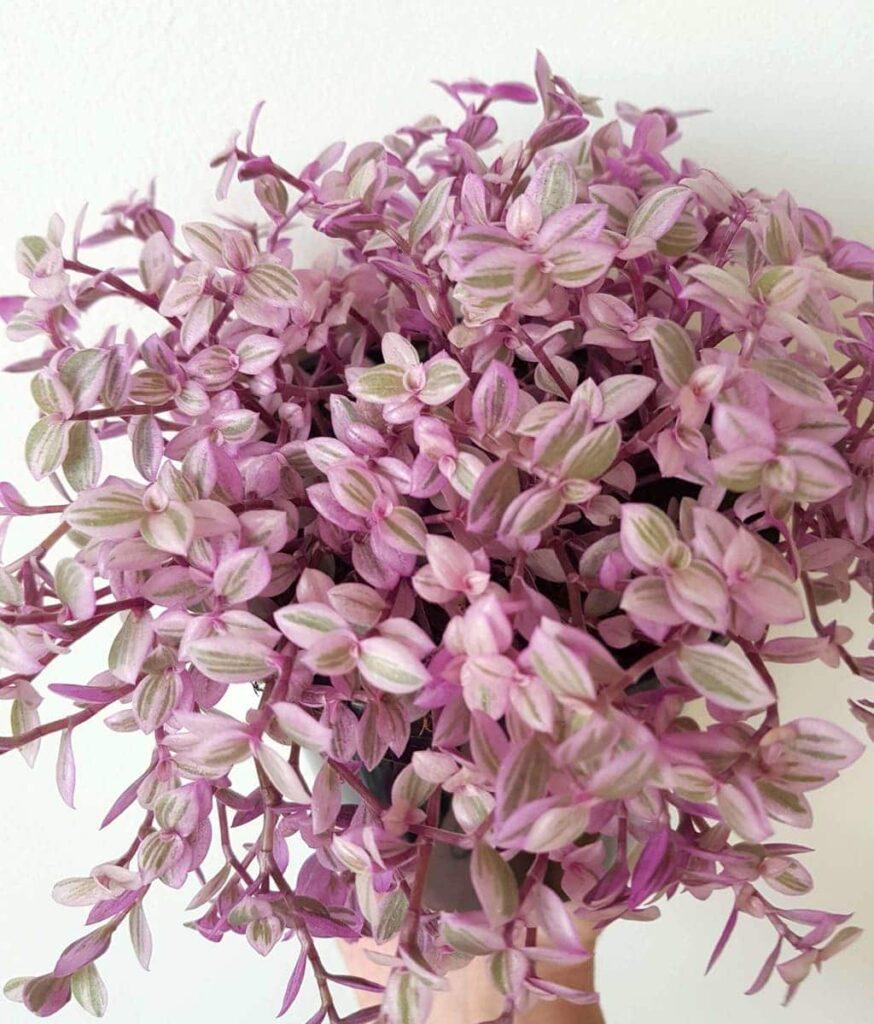 Peppyflora-Callisia-Care-02-b-moz