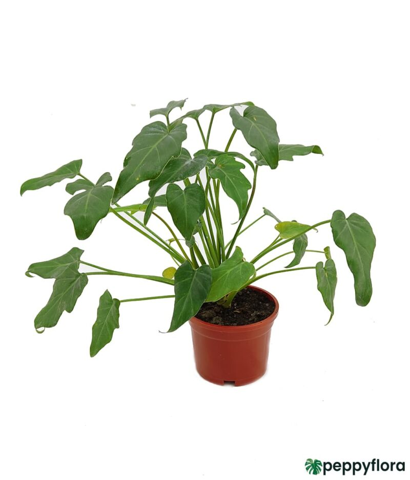 Philodendron-Xanadu-Green-Product-Peppyflora-01-a-Moz