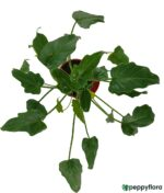 Philodendron-Xanadu-Green-Product-Peppyflora-01-c-Moz