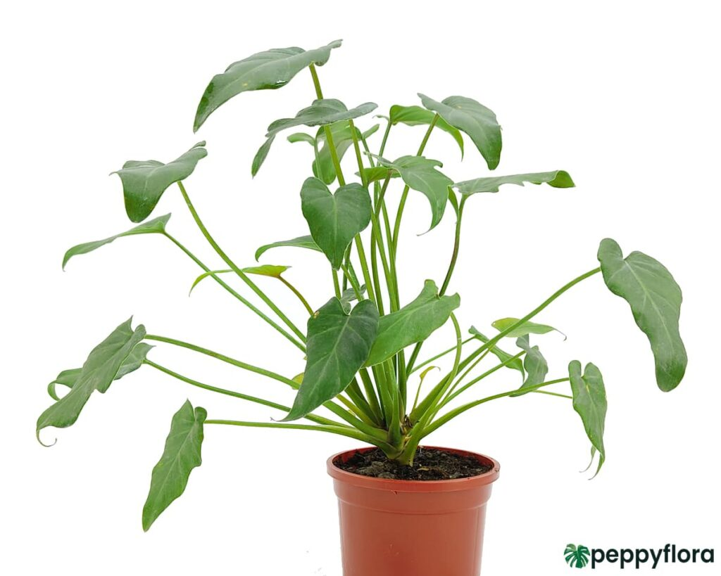 Philodendron-Xanadu-Green-Product-Peppyflora-02-Moz