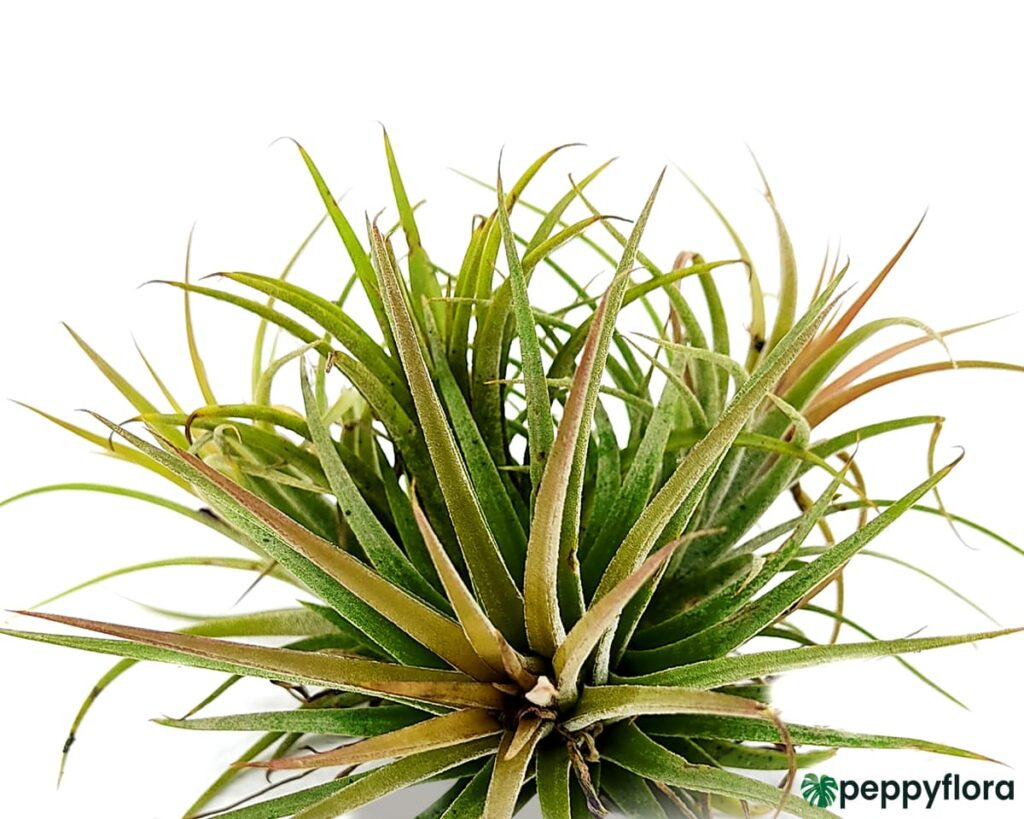 Tillandsia Ionantha Sky Plant Product Peppyflora 02 a Moz