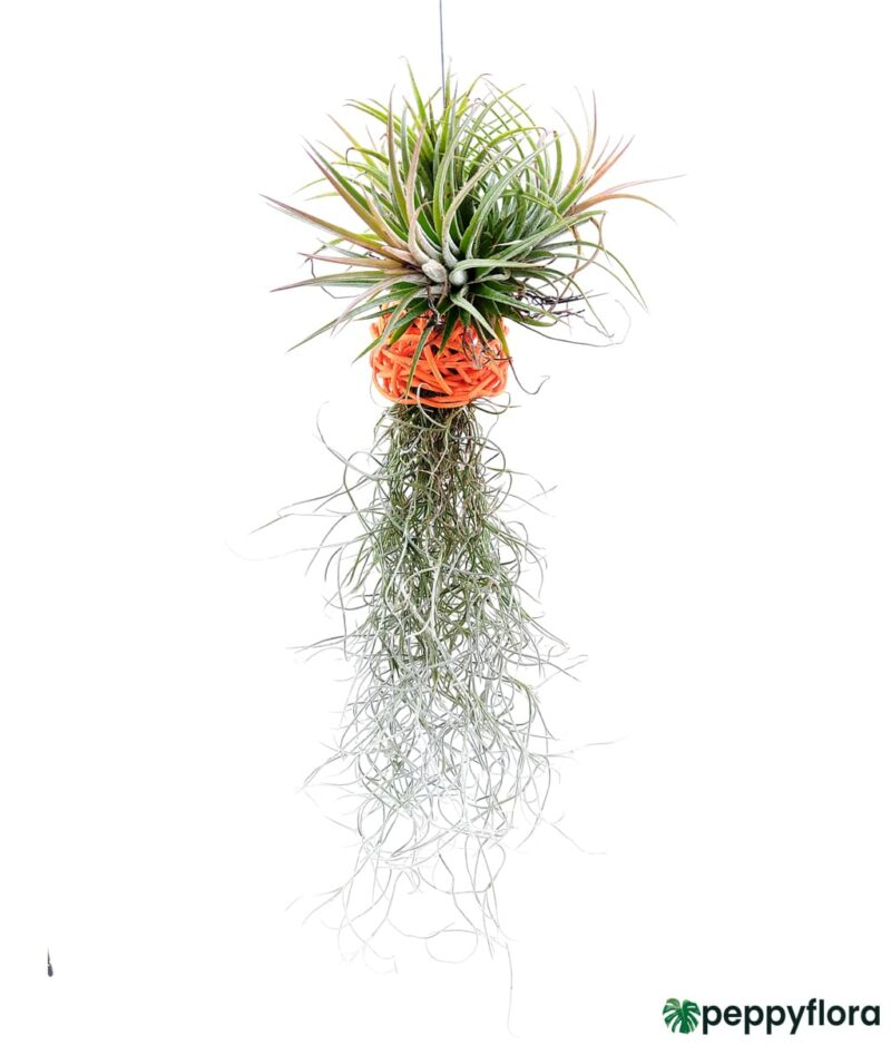 Tillandsia Spanish Moss and Ionantha Combo Product Peppyflora 01 a Moz