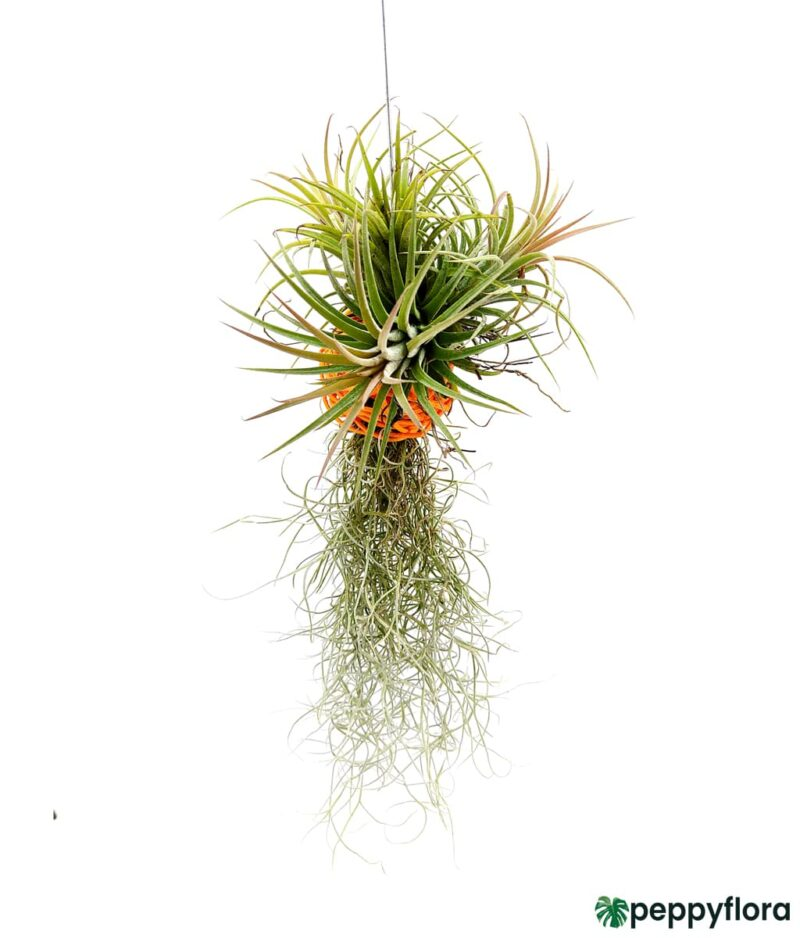 Tillandsia Spanish Moss and Ionantha Combo Product Peppyflora 01 c Moz